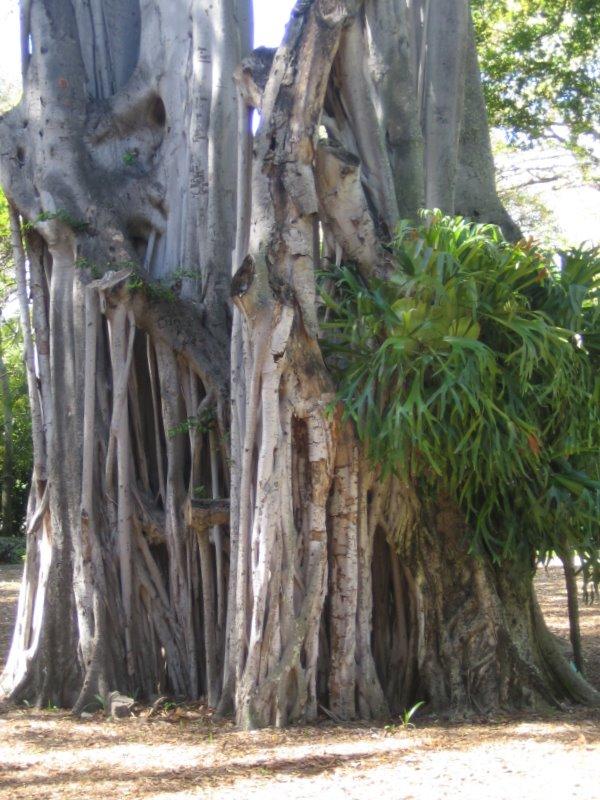 Honolulu 39 s foster botanical garden for Foster botanical garden honolulu